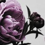 Картина за инфрачервен панел за отопление размер L 60х90 см Розата (S)