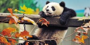 Картина за инфрачервен панел за отопление размер L 60х120 см Панда, панда (L)