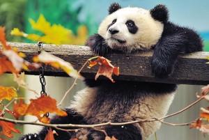 Картина за инфрачервен панел за отопление размер М 60х90 см Панда, панда (М)