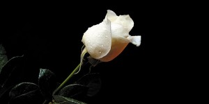Картина за инфрачервен панел за отопление размер L 60х120 см Бяла Роза в тъмнината (L)