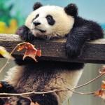 Картина за инфрачервен панел за отопление размер L 60х60 см Панда, панда (S)